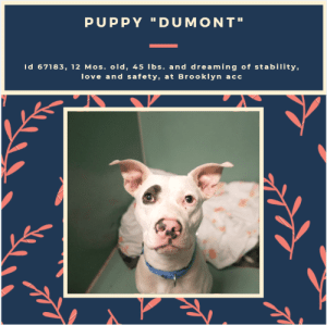 """Being Alone, Beautiful, and Children: PUPPY """"DUMONT""""  Id 67183, 12 Mos. old, 45 Ibs. and dreaming of stability,  love and safety, at Brooklyn  acc TO BE KILLED 7/9/19  DUMONT dreams of a """"safe space"""", of love, of a quiet, calm family home where he will be able to be a much beloved friend and companion, and where he can enjoy his puppyhood. Instead, he was found wandering the streets alone and frightened, a very small boy in a big concrete jungle who didn't know who to turn to for help. Then a good Samaritan found him, went slow with him to earn his trust, but then took him to the scariest shelter in NYC. Now he sits in a windowless kennel, confused and wondering why this has happened to him, while he listens to the bigger and older dogs barking and crying around him in their own kennels. He doesn't feel loved, and he doesn't feel special, and as a result he tries to play but then just bites his leash to let out his anxiety. Many of us have had dogs just like Dumont, and once safe and decompressed in their new homes, the leash biting stops, because the anxiety is gone. Dumont """"is"""" special. He is sweet and shy, and needs a family of his own that are just as special as he is, and where he can get the structure and kindness and patience he needs to find his rudder. Dumont will blossom in their care, he will relax, trust, open up and bond forever to the person who gives him their time and love. If you are an experienced foster or adopter who give this beautiful, big hearted and amazing puppy a soft place to land so his life can be spared, you really must hurry and MESSAGE our page or email us at MustLoveDogsNYC@gmail.com for assistance fostering or adopting him. He is Level 3 rated and should go to an adult only home (no children under age 13).  MY MOVIE:  Dumont  https://youtu.be/YKrGGHiqCms  DUMONT, ID# 67183, 12 Mos. old, 45.8 lbs, Unaltered Male Brooklyn ACC, Medium Mixed Breed, White  I came to the shelter as an ACO Impound, 6/25/2019 Shelter Assessment Rating: NEW """