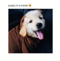 Cookies, Memes, and Puppies: puppy in a onesie AHHH CHRISTMAS IS IN A FEW HOURS FOR ME AHHHH •• Credit tagged 🤗 -💝 •• meme clean cleanmeme lol lolol lololol ha haha hahaha haa omg dying crying laughing laugh laughs laughoutloud goofy hilarious wow kawaii kawaiimemeteam relatable cookie joke jokes kawaiimeme