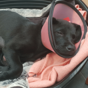 Puppy regret after eating an earing bigger than his insides could ever handle.: Puppy regret after eating an earing bigger than his insides could ever handle.
