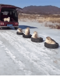 Dogs, Puppy, and For: Puppy Sledge!