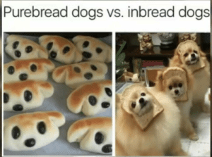 Dogs, They, and Cuteness: Purebread dogs vs. inbread dogs They are both equal in cuteness
