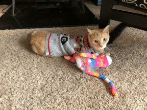 Put our big boy Tigger in the dog's new holiday sweater. He spent about 10 minutes throwing a temper tantrum and then wiggles out of it in about 10 seconds.: Put our big boy Tigger in the dog's new holiday sweater. He spent about 10 minutes throwing a temper tantrum and then wiggles out of it in about 10 seconds.