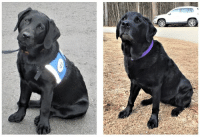 """Dogs, Life, and Memes: Putting a NEADS touch on the #10YearChallenge! Ronnie was one our first Service Dogs for Veterans, Trauma Assistance Dog graduates. Here she is as a pup in 2008, and again when she came to visit us today. She is now retired from her Service Dog duties, and enjoying the """"pet life"""" with her client. Thanks for the visit, Ronnie! #NEADS #WorldClassServiceDogs"""