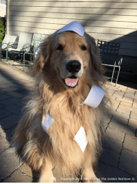 Boy it sure is hard sticking these shipping labels on the envelopes with all this fur and no thumbs! If you would like to receive your calendar by Christmas make sure to place your order sooner than later as the Christmas rush is upon us! To check them out just click the link below! http://ray-charles-the-golden-retriever.myshopify.com: pyright 2016 Ray Charles The Golden Retriever  O Boy it sure is hard sticking these shipping labels on the envelopes with all this fur and no thumbs! If you would like to receive your calendar by Christmas make sure to place your order sooner than later as the Christmas rush is upon us! To check them out just click the link below! http://ray-charles-the-golden-retriever.myshopify.com