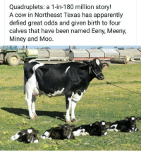 Memes: Quadruplets: a 1-in-180 million story!  A cow in Northeast Texas has apparently  defied great odds and given birth to four  calves that have been named Eeny, Meeny,  Miney and Moo Memes