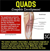 Flexing, Memes, and News: QUADS  Complete Development  Quadriceps  The quadriceps primarily  extend the knees. But, one  of these muscles also flex  the hip; the Rectus  Femoris. It originates from  the pelvis and inserts orn  the tibia, making it a 2  joint muscle, as it crosses  2 joints.  Rectus Femoris  Vastus Intermedius  Under the  Rectus Fermoris  Vastus Medialis  Vastus Lateralis  @strengthguide  SG  The vastus medialis, intermedius, and lateralis originate on  the femur and insert on the tibia making them single-joint  muscles that only extend the knee. While the rectus  femoris also flexes the hip as well as extends the knee. Follow @strengthguide for more great content ・・・ Knowing this about your quads👆, what exercises would be best to train them all effectively? Well it should go without saying that some sort of loaded squat variation (if you are able) should be your staple exercise here. Squats come out on top when you compare them to any other quad exercise. But there's one issue with just doing squat variations and leg press variations. While they target the vastis muscles very well, we're forgetting about the Rectus Femoris. ___ To train a 2-joint muscle (like the Rectus Femoris), you need to take it out of 1 of its functions to maximize the other function. Performing both functions simultaneously causes them to counteract each other. ___ Since the Rectus Femoris is also a hip flexor (bring knee to chest), it isn't used very well in the squat. When you are coming up out of the squat, you need to extend the knees but also extend the hips (which is the opposite of what the Rectus Femoris does). Therefore, if you did use the Rectus Femoris a lot in the squat, it would pull you into hip flexion (the opposite of what we want to finish the squat), and your glutes-hamstrings would have to work harder to extend the hips to finish the squat. You can't flex the hip at the same time as you stand up in the squat. ___ So to maximize the gains from the Rectus Femoris, you want to include leg extensions, which display superior rectus femoris activity, even more so if you point your toes out during execution. In my opinion, the key with this exercise is control, use a light-moderate weight (10-15 reps) squeeze at the top of each rep, then take 1-2s to come back down and repeat. The concentric should be forceful with a focus on a mind muscle connection. ___ Remember, leg extensions do not replace squats! Squats and other compounds should be the bread and butter of your leg training, leg extensions are the icing on the cake. Tag a friend with small quads and spread the news! 😅 ___ Strength-Guide.com strengthguide