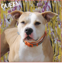 Click, Dogs, and Memes: QUEEN Our pretty Mama Queen would really like a throne of her own. Please click here to find out more or to adopt her: https://goo.gl/aKxAD1  KENNEL SPONSORED BY: LyLy & Richard❤  Greetings from our beauty Queen!! She is still waiting for her furever home and for some reason is sadly overlooked time and time again. Queen is around 3-4 years old and does well with other most dogs and people.   Sweet Queen would thrive in a low traffic home as to much activity makes her a bit uneasy. If you think Queen is the right dog for you, please fill out an application today.