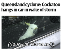 Birds, Storm, and Survival: Queensland cyclone: Cockatoo  hangs incar inwake of storm  ((survival increase)) incredible