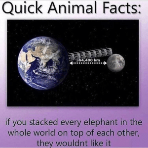 Facts, Animal, and Elephant: Quick Animal Facts:  384.400 km  if you stacked every elephant in the  whole world on top of each other  they wouldnt like it Me_irl