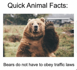 Facts, Memes, and Traffic: Quick Animal Facts:  Bears do not have to obey traffic laws