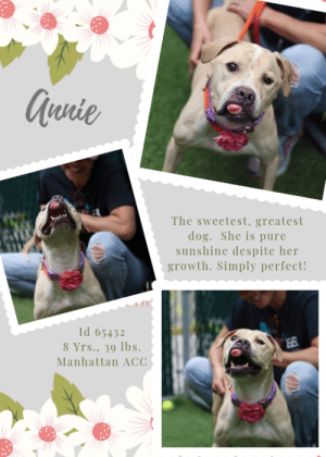 "Beautiful, Dogs, and Energy: Qunie  The sweetest, greatest  dog. She is pure  sunshine despite her  growth. Simply perfect!  Id 65432  8 Yrs., 39 lbs  EE  Manhattan ACC INTAKE DATE – 6/10/2019  *** WHAT A SWEETHEART! ***  Those are the words of the medical staff, as they examined Annie.   Wiggly, waggy, social and sweet, she made sure she spread the love around.  We are always amazed by the resilience of our canine friends, and Annie is no exception.  Despite her mouth mass that must cause her discomfort, she doesn't let her disfigurement get her down.  She is beautiful because she has a beautiful heart and an open, loving spirit.  She aced her safer, getting a coveted LEVEL 1 rating too.  It's not often the medical staff enter sweet comments like the one above, so we know that Annie is a very, VERY special dog.  Now the goal is to find her a perfect family who will take her in, get her the care she will need, and love her forever.  Not a tall order for a dog so special.  If you can foster or adopt Annie, please hurry and Message our page or email us at MustLoveDogsNYC@gmail.com for assistance.     A Volunteer Writes:  It's impossible not to sing, filled with hope, ""The sun will come out tomorrow,"" to our little Annie, who is so very tiny and gentle and kind, and doesn't seem to notice the growth on her mouth that has to be making her life a little less than carefree. But Annie doesn't need our encouragement--she is the most joyful, adorable pup, who greets everyone and every thing with a darling tail wag and curiosity and love. She walks daintily on a leash, appears house trained, has zero reaction to the dogs around her whether they bark at her or simply saunter by, and appears completely without care, but rather filled to her brim with affection. She's an angel wisp of a girl who will make the most wonderful companion!   MY MOVIE: A sunbeam of warmth and love @ MACC! https://youtu.be/xZcGwWN_Exo  ANNIE, ID# 65432, 8 yrs old, 39.8 lbs, Unaltered Female Manhattan ACC, Medium Mixed Breed, Tan / White   Owner Surrender Reason:  Shelter Assessment Rating: LEVEL 1 Medical Behavior Rating:   BEHAVIOR NOTES   Means of surrender (length of time in previous home): Stray  SAFER ASSESSMENT: Date of assessment: 11-Jun-2019  Summary: Leash Walking Strength and pulling: Moderate Reactivity to humans: None Reactivity to dogs: None Leash walking comments: None  Sociability Loose in room (15-20 seconds): Moderately social Call over: Approaches with coaxing Sociability comments: Body soft  Handling  Soft handling: Accepts contact Exuberant handling: Accepts contact Comments: Body soft, stands still  Arousal Jog: Follows (loose) Arousal comments: None  Knock: Approaches (loose) Knock Comments: None  Toy: No response Toy comments: None  PLAYGROUP NOTES - DOG TO DOG SUMMARIES:  6/11: When introduced off leash to dogs, Annie greets politely. She is a bit uncomfortable and tense with up close approach.  INTAKE BEHAVIOR: Date of intake: 10-Jun-2019 Summary: Nervous  MEDICAL BEHAVIOR: Date of initial: 10-Jun-2019 Summary: Attention seeking, allowed handling  ENERGY LEVEL:  We have no history on Annie so we cannot be certain of her behavior in a home environment. However, she is an enthusiastic, social dog who will need daily mental and physical activity to keep her engaged and exercised. We recommend long-lasting chews, food puzzles, and hide-and-seek games, in additional to physical exercise, to positively direct her energy and enthusiasm.   BEHAVIOR DETERMINATION: Level 1 Behavior Asilomar H - Healthy  MEDICAL EXAM NOTES   10-Jun-2019  DVM Intake Exam.  Estimated age: estimated 8-12.  Microchip noted on Intake? n Microchip Number (If Applicable): n.  History : stray.  Subjective: BAR, euhydrated, MM pink/moist, CRT.  Observed Behavior: WHAT A SWEETHEART - attention seeking, easy to handle, tail wagging.  Evidence of Cruelty seen -n, Evidence of Trauma seen -n.  Objective:  T = -, P = wnl, R = wnl, EENT: OS ptosis; Anterior chambers clear OU; no corneal defects; no ocular or nasal discharge;  Oral Exam: 1 inch diameter round gingival mass extending from the gingiva above the upper incisors - non painful; non ulcerative - PLN: No enlargements noted.  H/L: No murmurs or arrhythmias; strong, synchronous femoral pulses bilaterally; Eupneic; normal bronchovesicular sounds in all fields; no crackles/wheezes.  ABD: Non painful, no masses palpated.  U/G: no vulvar discharge; spayed with tattoo MSI: BCS 3/9 ; Ambulatory x 4 with no lameness, skin free of parasites, no masses noted, healthy hair coat.  CNS: Appropriate mentation; no cranial nerve deficits; no proprioceptive deficits; no ataxia.  Rectal: externally normal Assessment:  1. Gingival mass - DDX list - fibroma, Foreign body,neoplasia , reactive secondary to periodontal disease.  2. Peridontal disease - 4/5  3. Underweight 4. Left eye Ptosi  Plan  - TID Feeding   ****Placement***** Annie will need follow up veterinary care including a dental cleaning with an excisional biopsy tfor histopathological confirmation of the gingival mass  *** TO FOSTER OR ADOPT ***    If you would like to adopt a NYC ACC dog, and can get to the shelter in person to complete the adoption process, you can contact the shelter directly. We have provided the Brooklyn, Staten Island and Manhattan information below. Adoption hours at these facilities is Noon – 8:00 p.m. (6:30 on weekends)  If you CANNOT get to the shelter in person and you want to FOSTER OR ADOPT a NYC ACC Dog, you can PRIVATE MESSAGE our Must Love Dogs page for assistance. PLEASE NOTE: You MUST live in NY, NJ, PA, CT, RI, DE, MD, MA, NH, VT, ME or Northern VA. You will need to fill out applications with a New Hope Rescue Partner to foster or adopt a NYC ACC dog. Transport is available if you live within the prescribed range of states.  Shelter contact information: Phone number (212) 788-4000 Email adopt@nycacc.org  Shelter Addresses: Brooklyn Shelter: 2336 Linden Boulevard Brooklyn, NY 11208 Manhattan Shelter: 326 East 110 St. New York, NY 10029 Staten Island Shelter: 3139 Veterans Road West Staten Island, NY 10309  *** NEW NYC ACC RATING SYSTEM ***  Level 1 Dogs with Level 1 determinations are suitable for the majority of homes. These dogs are not displaying concerning behaviors in shelter, and the owner surrender profile (where available) is positive.    Level 2  Dogs with Level 2 determinations will be suitable for adopters with some previous dog experience. They will have displayed behavior in the shelter (or have owner reported behavior) that requires some training, or is simply not suitable for an adopter with minimal experience.    Level 3 Dogs with Level 3 determinations will need to go to homes with experienced adopters, and the ACC strongly suggest that the adopter have prior experience with the challenges described and/or an understanding of the challenge and how to manage it safely in a home environment. In many cases, a trainer will be needed to manage and work on the behaviors safely in a home environment."
