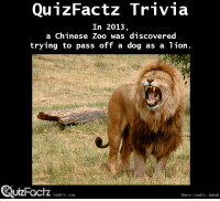 """News, Target, and Tumblr: QunzFactz Trivia  In 2013  a Chinese Zoo was discovered  trying to pass off a dog as a lion.  QuzFactz  UIZFacTZ tumblr com  Photo Credit: Robek <p><a class=""""tumblr_blog"""" href=""""http://quizfactz.tumblr.com/post/96417770648/the-dog-was-a-tibetan-mastiff-news-article"""" target=""""_blank"""">quizfactz</a>:</p> <blockquote> <p>The dog was a Tibetan Mastiff</p> <p>News Article</p> <p>(<a href=""""http://www.bbc.com/news/world-asia-china-23714896"""" target=""""_blank"""">Link</a>)</p> </blockquote>"""