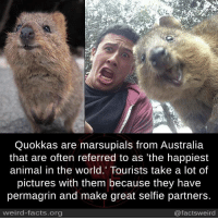 marsupials: Quokkas are marsupials from Australia  that are often referred to as 'the happiest  animal in the world. Tourists take a lot of  pictures with them because they have  permagrin and make great selfie partners.  weird-facts.org  @factsweird
