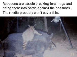 Funny, Media, and Via: Raccoons are saddle breaking feral hogs and  riding them into battle against the possums.  The media probably won't cover this. It all makes sense now via /r/funny https://ift.tt/2zUNtam