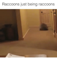 THE MEDIA IS CORRUPT AND MALICIOUS! THEY DEPICT RACOONS AS EVIL SCAVENGERS THAT ONLY CARE ABOUT FOOD. i am here to relinquish you off the brainwashing...: Raccoons just being raccoons THE MEDIA IS CORRUPT AND MALICIOUS! THEY DEPICT RACOONS AS EVIL SCAVENGERS THAT ONLY CARE ABOUT FOOD. i am here to relinquish you off the brainwashing...
