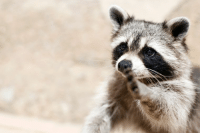 Raccoons pick locks: Raccoons pick locks