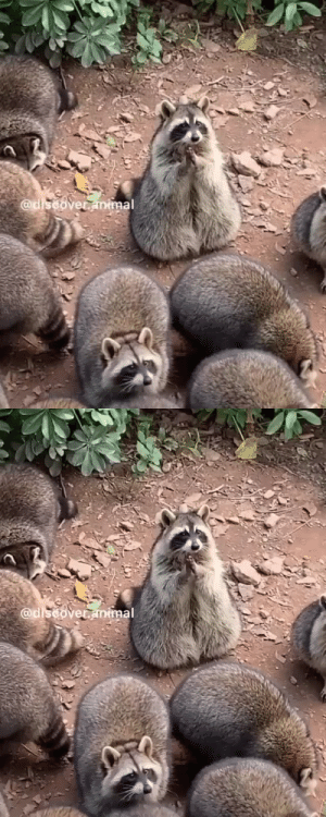 Raccoons waiting for food 🤤via @discover.animal: Raccoons waiting for food 🤤via @discover.animal