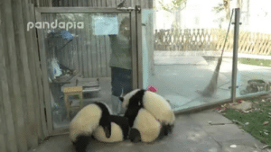 Facebook, Target, and Tumblr: radicalmayhem: tsix-xist:  bace-jeleren:  wildlifewednesdays:  The dangers and troubles of being a panda zookeeper.  LET! THEM! IN! THE! BASKET!!!!!  This poor woman is just trying to clean the leaves. #allpandas.  if you're having a rough night, watch this. trust me.
