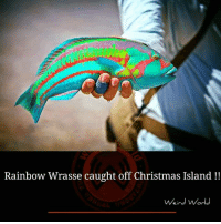 funny christmas memes: Rainbow Wrasse caught off Christmas Island  Weird World