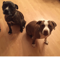 RALEIGH, NC-- 2 LOST DOGS   12/7: Blitzen is back home  Brown female pit bull (Breeze) and brindle male pit bull (Blitzen). Missing since Friday night, 12/2/16. They were last spotted near the intersection of Pearl Road and Rock Quarry. Contact Mandi 919-539-3928.: RALEIGH, NC-- 2 LOST DOGS   12/7: Blitzen is back home  Brown female pit bull (Breeze) and brindle male pit bull (Blitzen). Missing since Friday night, 12/2/16. They were last spotted near the intersection of Pearl Road and Rock Quarry. Contact Mandi 919-539-3928.