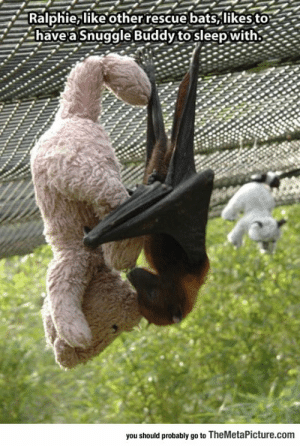 lolzandtrollz:  Upside-Down Snuggle Buddy: Ralphie, like otherrescue bats,likes to  have a Snuggle Buddy to sleep with.  you should probably go to TheMetaPicture.com lolzandtrollz:  Upside-Down Snuggle Buddy