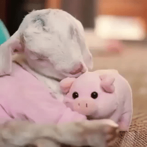 Tumblr, Goat, and Blog: ramtrak:  goat-yells-at-everything:  bluebreeze52:  babyanimalgifs: This made my day @goat-yells-at-everything Sleepy babby.  BBY GOAT LOVES HER PIG!  good night, dorks