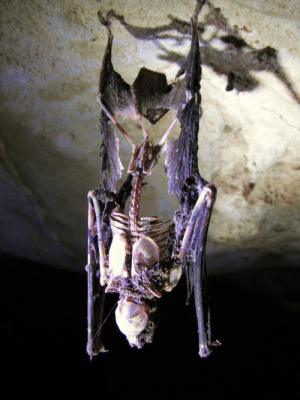 Tumblr, Blog, and Http: ranetree: dichotomization:  A dead bat still hanging from the ceiling of a cave.   Fun fact: When the muscles in a bat's feet/legs relax, the foot closes. (Contrast to our hands, which open when the controlling muscles relax.) This is why bats can sleep—and die—upside down.