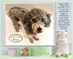 Animals, Cute, and Desperate: Raptor 65643  super-cute, a  tiny 9 lbs, 11 yrs  young, this  adorable little  nugget is  waiting for  your loving  arms at the  Brooklyn, NY  ACC. Inquire  about him now  before it is  too late!  SWEET BABY  Boy  λωωpΜe **FOSTER or ADOPTER NEEDED ASAP** Raptor 65643 ... super-cute, a tiny 9 lbs, 11 yrs young, this adorable little nugget is waiting for your loving arms at the Brooklyn, NY ACC. Inquire about him now before it is too late!  ✔Pledge✔Tag✔Share✔FOSTER✔ADOPT✔Save a life!  Raptor 65643 Small Mixed Breed Sex male Age 11 yrs (approx.) - 9 lbs  My health has been checked.  My vaccinations are up to date. My worming is up to date.  I have been micro-chipped.   I am waiting for you at the Brooklyn, NY ACC. Please, Please, Please, save me!  Found Location : Bruckner & Treamont Avenue BRONX, 10465 Date Found 6/11/2019  **************************************** *** TO FOSTER OR ADOPT ***   If you would like to adopt a NYC ACC dog, and can get to the shelter in person to complete the adoption process, you can contact the shelter directly. We have provided the Brooklyn, Staten Island and Manhattan information below. Adoption hours at these facilities is Noon – 8:00 p.m. (6:30 on weekends)  If you CANNOT get to the shelter in person and you want to FOSTER OR ADOPT a NYC ACC Dog, you can PRIVATE MESSAGE our Must Love Dogs - Saving NYC Dogs page for assistance. PLEASE NOTE: You MUST live in NY, NJ, PA, CT, RI, DE, MD, MA, NH, VT, ME or Northern VA. You will need to fill out applications with a New Hope Rescue Partner to foster or adopt a NYC ACC dog. Transport is available if you live within the prescribed range of states.  Shelter contact information: Phone number (212) 788-4000 Email adopt@nycacc.org  Shelter Addresses: Brooklyn Shelter: 2336 Linden Boulevard Brooklyn, NY 11208 Manhattan Shelter: 326 East 110 St. New York, NY 10029 Staten Island Shelter: 3139 Veterans Road West Staten Island, NY 10309 ************************************** ... NOTE:  *** WE HAVE NO OTHER INFORMATION THAN WHAT IS LISTED WITH THIS FLYER *** ... RE: ACC site Just because a dog is not on the ACC site does NOT necessarily mean safe. There are many reasons for this like a hold or an eval has not been conducted yet or the dog is rescue-only... the list goes on... Please, do share & apply to foster/adopt these pups as well until their thread is updated with their most current status. TY! ****************************************** About Must Love Dogs - Saving NYC Dogs: We are a group of advocates (NOT a shelter NOR a rescue group) dedicated to finding loving homes for NYC dogs in desperate need. ALL the dogs on our site need Rescue, Fosters, or Adopters & that ASAP as they are in NYC high-kill shelters. If you cannot foster or adopt, please share them far & wide. Thank you for caring!! <3 ****************************************** RESCUES: * Indicates New Hope Rescue partner is accepting applications for fosters and/or adopters. http://www.nycacc.org/get-involved/new-hope/nhpartners ****************************************** https://www.nycacc.org/adopt/raptor-65643 ++++ http://nycaccpets.shelterbuddy.com/animal/animalDetails.asp?s=adoption&searchTypeId=4&animalType=3%2C16&datelostfoundmonth=6&datelostfoundday=12&datelostfoundyear=2019&tpage=8&find-submitbtn=Find+Animals&pagesize=16&task=view&searchType=4&animalid=99346 ++++ https://nycaccpets.shelterbuddy.com/animal/animalDetails.asp?task=search&advanced=1&rspca_id=65643&animalType=1%2C2%2C15%2C3%2C16%2C15%2C16%2C86%2C79&datelostfoundmonth=6&datelostfoundday=1&datelostfoundyear=2019&find-submitbtn=Find+Animals&tpage=1&searchType=2&animalid=99346 ++++ Carolin Hocker Caro Hocker Beamer Maximillian