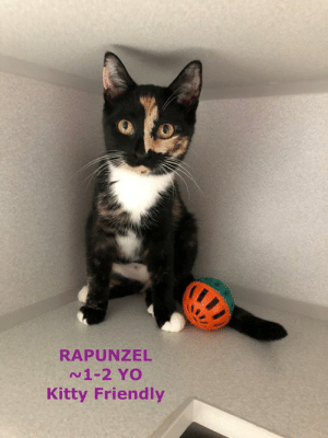 Cats, Family, and Memes: RAPUNZEL  N1-2 YO  Kitty Friendly Youngster RAPUNZEL is a playful gal who LOVES other cats and she's getting used to humans.  The ideal home for her is one with other cats to show her the way and make her come out of her shell.  Not sure a family with lots of kids would be best for her as she's not totally used to all people yet.  The shelter is open daily from 12 - 4:30.
