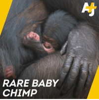 Cute, Memes, and Baby: RARE BABY  CHIMP This newborn baby is critically important for the survival of her species. She's also too cute for words.