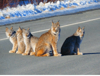 Rare capture of a family of lynx in Southeastern Alaska by Melody Anne McKenzie.: Rare capture of a family of lynx in Southeastern Alaska by Melody Anne McKenzie.