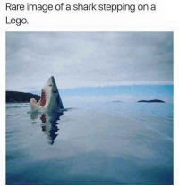 Lego, Memes, and Shark: Rare image of a shark stepping on a  Lego.