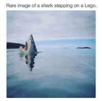 Lego, Love, and Memes: Rare image of a shark stepping on a Lego. Love this!