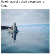 Lego, Memes, and Shark: Rare image of a shark stepping on a  Lego. That agony, though.... ~Prowl