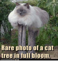 Cats, Memes, and Tree: Rare photo of a cat  tree in full bloom.