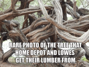 This explains my recent trip to the lumber section: RARE PHOTO OF THE TREETHAT  HOME DEPOT AND LOWES  GET THEIRLUMBER FROM This explains my recent trip to the lumber section