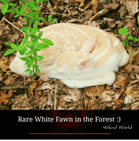 Memes, Weird, and White: Rare White Fawn in the Forest  Weird World