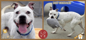 "Apparently, Children, and Cute: RAY CHARLES  LO  V E  IDe 60259 5YRS OLD  46 LBS BROOKLYN AC I was returned!  Intake Date - 6/3/2019  Adopted in April, returned in June for peeing ONE TIME in their home, RAY CHARLES had hoped when he walked out the door that day that he would never see the scary shelter again, and that he had found the family who would love him forever.  He sits in his kennel, sad and downtrodden, wondering why his life just doesn't seem to be working out the way he had planned.  Because really, he is so goofy and sweet and happy and good.  How can he be expected to know where the door was or where he was supposed to go at his new home.  And really, why didn't they listen to his cues?  We are sure he tried, and that a person would return this lovely boy for so ridiculous a reason shows that they never deserved him.  So please share RAY CHARLES far and wide!  Or foster or adopt him yourself -- you can message our page for assistance.  I <3 to play fetch! ~ Hit all the high notes with this pup! Silly, goofy & completely charming! Ray Charles will make your heart swoon....Playful, energetic fun lap dog is looking for a place to play and a lap to cuddle in. Ray Charles seems housebroken, is very cute, entertains himself and his volunteers. Will it be you? ** A volunteer writes: What a face! Meet Ray Charles. This friendly guy loves to play, clown around, gaze up at you, and wiggle! Coming equipped with some solid leash manners, he loves to play fetch and even knows ""drop it""! Forever exuberant, Ray is the guy who will throw a party every time you come back home, jumping up, tail wagging, thrilled to see you. Ray's ideal forever home would have stable, loving humans in it over the age of 13, to help him stay calm and have fun!   MY VIDEOS: Playful Ray Charles  https://youtu.be/ufQqXkTTsbY  Ray Charles and his Shark  https://youtu.be/W5ePmHRajvc  All over the place & completely charming! https://youtu.be/XcPAeKX1bag  RAY CHARLES, ID# 60259, 5 yrs old, 46.59 lbs, Unaltered Male Brooklyn ACC, Medium Mixed Breed White / Black   Owner Surrender Reason:  He peed in my house 1x Shelter Assessment Rating: Level 3 Medical Behavior Rating:     NOTES FIRST STAY / Intake 04-17-2019  RAY CHARLES, ID# 60259, 5 yrs old, 46.59 lbs, Brooklyn Animal Care Center, Medium Mixed Breed Cross, White / Black Male,  Found Stray  Shelter Assessment Rating: LEVEL 3 No children (under 13) Medical Behavior Rating: Orange   CAME IN WITH JUNE CHRISTY ID# 60260 (already safe!)  INTAKE PROFILE - BASIC INFORMATION: Ray Charles is a white and black medium dog that was brought to the center as a stray.  INTAKE NOTES – DATE OF INTAKE, 17-Apr-2019: Behavior upon intake: Ray had a loose body throughout the process. He allowed to be collared, scanned and petted. Ray scanned negative for a microchip.  BEHAVIOR NOTES:  Means of surrender (length of time in previous home): Stray, no known history  SHELTER ASSESSMENT SUMMARIES    Leash Walking Strength and pulling: Mild pulling Reactivity to humans: None Reactivity to dogs: None Leash walking comments:  Sociability Loose in room (15-20 seconds): Soft, loose and wiggly body, ears back, panting, jumps up to solicit attention, social, explores somewhat, some mouthiness without pressure Call over: Approaches readily, exuberant and wiggly Sociability comments:   Handling  Soft handling: Soft, loose, wiggly body, energetic, jumps up onto handler, overstimulated, tail wagging, panting, mouthing (leash and handler's hands), ears back, accepts contact Exuberant handling: Soft, loose, wiggly body, energetic, jumps up onto handler, overstimulated, tail wagging, panting, mouthing handler with pressure, soft head flips, accepts contact Handling comments:  Arousal Jog: Engages in play with handler, soft and loose body, tail wagging, ears back, exuberant Arousal comments: After third pass, jumps up and mouths leash; Recovers immediately on his own, does not escalate  Knock Knock Comments: Pulls toward door when assistant exits and begins barking and whining; No response to knock; Barks once when assistant enters before approaching, soft, loose, wiggly and exuberant, jumping up, tail wagging  Toy Toy comments: Grips and engages in exuberant play; Grips and moves away  PLAYGROUP NOTES - DOG TO DOG SUMMARIES: Ray Charles was brought in as a stray with one other dog but limited information was provided, so his past behavior around other dogs is unknown.  4/18: When off leash at the Care Center, Ray Charles is introduced to a novel female dog. He is sexually motivated as he greets her. He persistently licks her genitals with a tense body and is slow to listen to handler interruptions. Ray Charles would become tense with a stiff tail when the female would greet him face to face. When the female is interrupted by handlers, he would walk towards her with stiff slow movements.   4/19: Ray Charles displayed a tucked tail and low posture when greeting a novel female dog. He briefly exchanges greeter, then manages his nervousness by walking away. He follows the handlers around the yard, checking on the greeter from a distance.   INTAKE BEHAVIOR - Date of intake: 17-Apr-2019 Summary: Loose body, accepted contact, allowed all handling  MEDICAL BEHAVIOR - Date of initial: 17-Apr-2019 Summary: Nervous, growled, lunged  ENERGY LEVEL: Ray Charles was observed to exhibit a very high level of energy during his interactions in the care center. We cannot be certain of his behavior in a home environment, but we recommend that he be provided daily mental and physical stimulation as an outlet for his energy.  BEHAVIOR DETERMINATION: Level 3 Behavior Asilomar TM - Treatable-Manageable  Recommendations: No children (under 13)  Recommendations comments:  No children (under 13): Although Ray Charles displays social behavior, he was observed to exhibit a very high level of energy and becomes overstimulated and displays mouthiness during his interactions in the care center. Due to these behaviors, along with the observed anxiety during his interactions, it is recommended that Ray Charles be placed in a stable, adult-only home environment to ensure his success. We advise safe and appropriate management when handling Ray Charles, as well as utilizing guidance from a qualified, professional trainer/behaviorist. Force-free, reward based training only is advised.  Potential challenges: Social hyperarousal Mouthiness/poor bite inhibition Anxiety  Potential challenges comments:  Social hyperarousal: Ray Charles displayed hyperarousal, exhibited a very high level of energy and becomes overstimulated during his interactions in the care center. Although he appears social, solicits attention and seeks contact, he was observed to escalate to mouthing, soft head flipping when aroused, as well as jumping up onto handlers and mouthing the leash. Ray Charles does recover immediately on his own. Please refer to the handout on Arousal.  Mouthiness/poor bite inhibition: Ray Charles displayed mouthiness, exhibited a very high level of energy and becomes overstimulated during his interactions in the care center. Although displays social behavior, solicits attention and seeks contact, he was observed to escalate to mouthing with some pressure when being handled, as well as jumping up onto handlers and mouthing the leash. Ray Charles does recover immediately on his own. Please refer to the handout on Mouthiness/poor bite inhibition.  Anxiety: Although Ray Charles displays social behavior, solicits attention and seeks contact, he has also been observed to display anxiety by panting, whining and barking during his interactions in the care center. Should this behavior arise in a home environment, please refer to the handout on Anxiety/anxious behavior.  MEDICAL EXAM NOTES   1-May-2019 Progress Exam Progress exam-day 7 recheck CIRDC History: Intake 4/17-APH 4/24-started on baytril for CIRDC Subjective: BAR. Sneezing but CIRDC has improved.  Objective:  EENT: serous nasal d/c bilaterally, no ocular d/c ou L: Eupneic, normal RR/RE but sneezing MSI: Ambulatory x 4, good haircoat CNS: mentation appropriate - no signs of neurologic abnormalities Assessment: CIRDC Plan:  Continue baytril 10mg/kg PO SID x10d until 5/4 Recheck at day 10 Iso Prognosis: Good 24-Apr-2019 Progress Exam H: CIRDC signs seen on rounds S: BAR, consistent coughing, no svd. Eyes: Unremarkable OU Ears: Unremarkable AU. Nasal Cavity: Mild serous nasal discharge  Lungs: Eupneic U/G: MI. No discharge. Musculoskeletal: Ambulatory x 4 with no appreciable lameness.  BCS = 5/9 Neuro: Appropriate mentation.  Rectal: Not performed. Externally normal. Assessment 1)CIRDC  Plan: Move to iso, start enrofloxacin 10 mg/kg PO SID x 10 days 22-Apr-2019 Progress Exam SO  Recheck possible hematochezia and CIRDC signs.  BAR in kennel. Stool in kennel is soft, formed. No signs of hematochezia.  EN -- eyes and nose are clear with no discharge. no sneezing or coughing  A  Apparently healthy  P  continue to monitor in shelter 17-Apr-2019 DVM Intake Exam Estimated age: 5 years Microchip noted on Intake? No Microchip Number (If Applicable): History : Stray Subjective: BARH. No csvd Observed Behavior - Very nervous, growling, lunges Evidence of Cruelty seen - no Evidence of Trauma seen - no Objective  P = wnl R = wnl BCS 5/9 EENT: Eyes clear, ears clean, no nasal or ocular discharge noted Oral Exam: not performed due to temperament PLN: No enlargements noted H/L: NSR, NMA, CRT < 2, Lungs clear, eupnic ABD: Non painful, no masses palpated U/G: MI with two descended testicles, no discharge MSI: Ambulatory x 4, skin free of parasites, no masses noted, healthy hair coat CNS: Mentation appropriate - no signs of neurologic abnormalities Rectal: normal externally Assessment apparently healthy Prognosis: good Plan: no tx needed SURGERY: Okay for surgery"