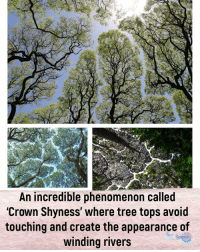Beautiful, Facts, and Memes: re  An incredible phenomenon called  'Crown Shyness' where tree tops avoid  touching and create the appearance of  winding rivers  Science Did you know? Crown shyness is a naturally occurring phenomenon in some tree species where the upper most branches in a forest canopy avoid touching one another. The visual effect is striking as it creates clearly defined borders akin to cracks or rivers in the sky when viewed from below. Although the phenomenon was first observed in the 1920s, scientists have yet to reach a consensus on what causes it. According to Wikipedia it might simply be caused by the trees rubbing against one another, although signs also point to more active causes such as a preventative measure against shading (optimizing light exposure for photosynthesis) or even as a deterrent for the spread of harmful insects. ⇒Love ❤️, flow 💬, serve ✨⇐ . . . . . . . . . . . . . nature habitat geyser science amazing facts video natural italy sand wow instatag facts instafun instavideo videos spiritual beautiful london amazingfact memes mindblown fact magic insta sun trees tree