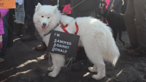Facebook, Tumblr, and Blog: RE  I'M  SAMOYED  AGAINST  DONALD cloudthesamoyed:  so glad this samoyed is representing all samoyeds against trump… cloud is against trump!!!!!!! (source: dogspotting facebook page)