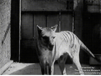 Literally incredible (the acc is 2 years old): re sented by:  The Thylacine Museum  www.naturalworlds.org Literally incredible (the acc is 2 years old)