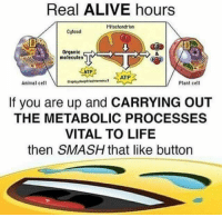 Alive, Life, and Smashing: Real ALIVE hours  Mitochondrion  Cytosol  Organic  molecules  ATP  Animsl cell  esplcya  Plant cel  If you are up and CARRYING OUT  THE METABOLIC PROCESSES  VITAL TO LIFE  then SMASH that like button <p>I'm ((ALIVE))</p>