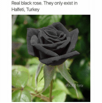 Memes, Black, and Blacked: Real black rose. They only exist in  Halfeti, Turkey