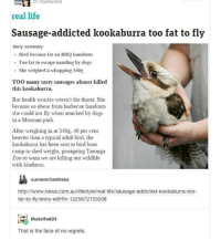Dogs, Life, and Memes: real life  Sausage-addicted kookaburra too fat to fly  Story summary  Bird became fat on BBQ handouts  Too fat to escape mauling by dogs  She weighed a whopping 540g  TOO many tasty sausages almost killed  this kookaburra.  But health worries weren't the threat. She  became so obese from barbecue handouts  she could not fly when attacked by dogs  in a Mosman park.  After weighing in at 540g, 40 per cent  heavier than a typical adult bird, the  kookabuura has been sent to bird boot  camp to shed weight, prompting Taronga  Zoo to wam we are killing our wildlife  with kindness  cumenchantress  http://www.news.com.au/lifestyle/real-life/sausage-addicted-kookaburra-too-  fat-to-fly/story-e6frfiri-1225872729208  thatsthat24  That is the face of no regrets. guys let's do this KOOKABURRA SITS IN THE OLD GUM TREEEEEE - Max textpost textposts