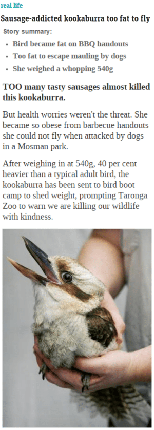 Dogs, Food, and Gif: real life  Sausage-addicted kookaburra too fat to fly   Story summary:  Bird became fat on BBQ handouts  Too fat to escape mauling by dogs  She weighed a whopping 540g  TOO many tasty sausages almost killed  But health worries weren't the threat. She  became so obese from barbecue handouts  she could not fly when attacked by dogs  in a Mosman park.  After weighing in at 540g, 40 per cent  heavier than a typical adult bird, the  been sent to bird boot  camp to shed weight, prompting Taronga  Zoo to warn we are killing our wildlife  with kindness. ohsosnarky:   wishful-thinkment:  thatsthat24:  cumenchantress:  http://www.news.com.au/lifestyle/real-life/sausage-addicted-kookaburra-too-fat-to-fly/story-e6frflri-1225872729208  That is the face of no regrets.  what people don't realise is that, when it comes to kookaburras, you don't have a choice about whether your feed them or not. they're gonna eat your food.   You think we're kidding. We're not.