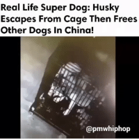 Crazy, Dank, and Dogs: Real Life Super Dog: Husky  Escapes From Cage Then Frees  Other Dogs in China!  @pmwhiphop Wow 👌🏾.........✖ ➖➖➖➖➖➖➖➖➖➖➖➖➖➖➖➖➖➖➖➖➖ . . . . . . . . . . . . . 420 funny Relatable dank smh Hilarious Comedy Nochill Jokes Funny KanyeWest KimKardashian KylieJenner JustinBieber Squad Crazy Omg Accurate Kardashians Epic bieber Weed TagSomeone hiphop trump rap whitepeople drake savage