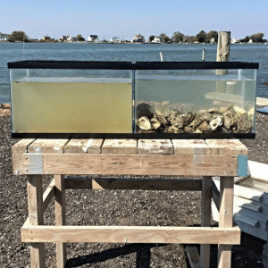 Tumblr, Blog, and Help: realcleverscience: thealgerian:  Both were filled at the same time with the same water, only one had oysters.  Oysters really help filter our open waters. Sadly, their mortality rate is going up bc of ocean acidification which makes it harder for them to form their shells (see more about it here). Which means fewer oysters for eating and grosser waters in general. Again, this is already happening. But let's keep acting like climate change isn't a thing. -sigh-