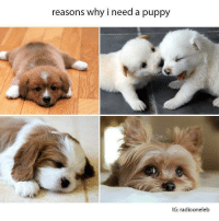 Memes, Puppies, and Puppy: reasons why i need a puppy  IG: radiooneleb sooo cute!