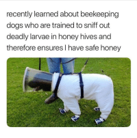 Dogs, Memes, and 🤖: recently learned about beekeeping  dogs who are trained to sniff out  deadly larvae in honey hives and  therefore ensures I have safe honey Thank u beekeeping doggos 🐕🐝🍯