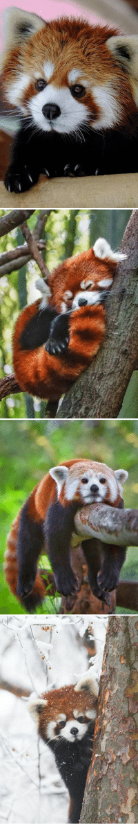 red pandas are so cute https://t.co/jqZkrQ6rsd: red pandas are so cute https://t.co/jqZkrQ6rsd